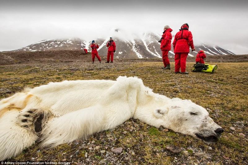 Questo orso polare è morto di fame in Svalvard, Norvegia: lo scioglimento dei ghiacci priva gli orsi polari dei loro spazi di v