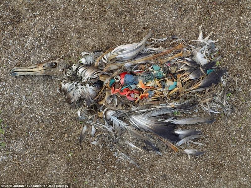 Un albatros morto mostra cosa aveva in pancia