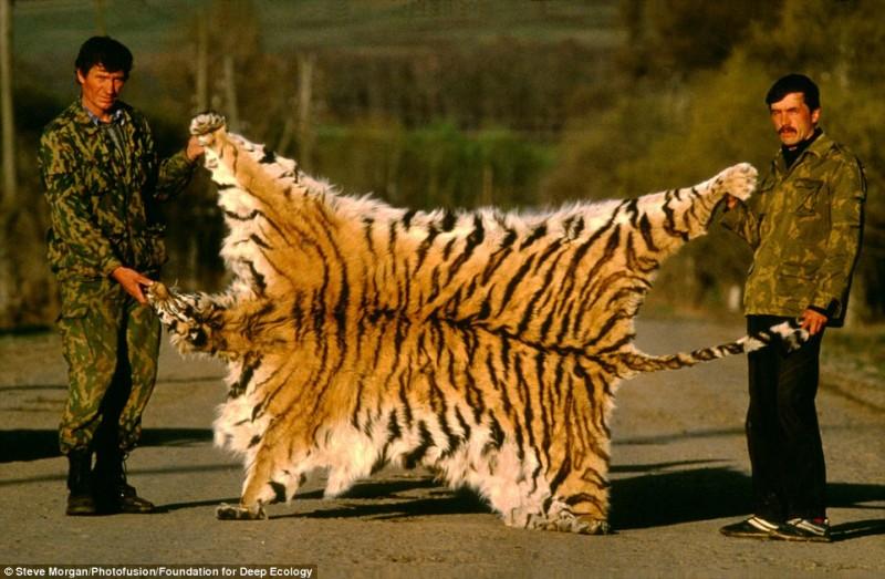 Bracconieri posano e mostrano con orgoglio la pelle di una tigre siberiana